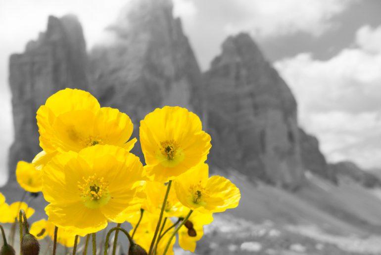 Blumen-gelb-drei-zinnen